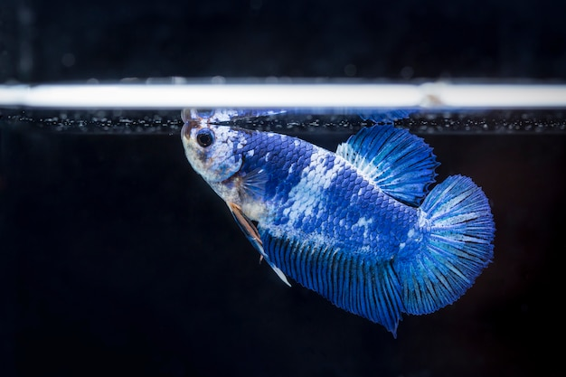 Pesce combattente (betta splendens) pesce con una bella Foto Premium