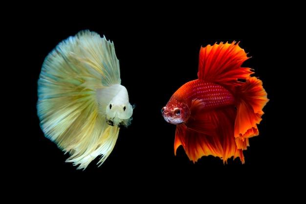 Pesce combattente siamese (betta splendens) Foto Premium