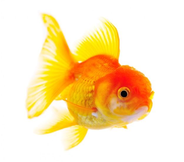 Pesce d'oro. isolamento sul bianco Foto Premium