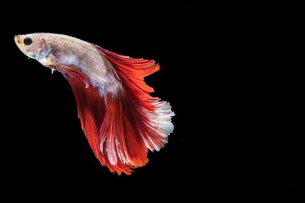 Pesce isolato di betta con nuoto della coda Foto Gratuite