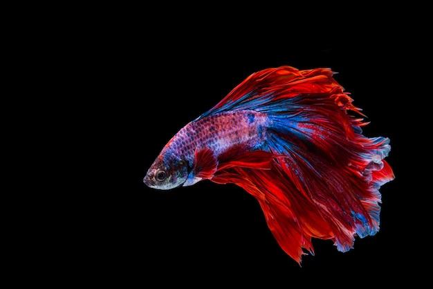 Pesce rosso e blu di betta, pesce siamese di combattimento su fondo nero Foto Premium