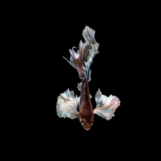 Pesci di betta, combattimenti siamesi, splendens di betta isolati sul nero Foto Premium