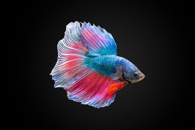 Pesci di lotta siamese Foto Premium