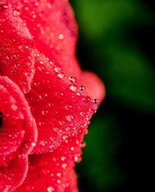 Petalo di rosa con la rugiada del mattino Foto Premium