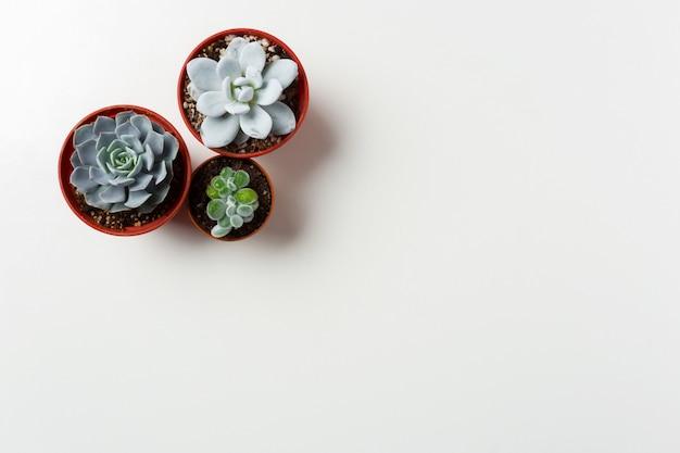 Pianta dei succulenti in vaso su bianco Foto Premium