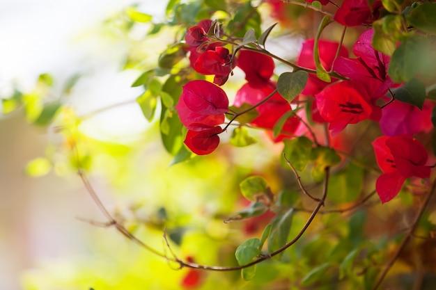 Pianta di bougainvillea glabra Foto Gratuite