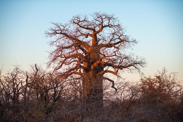 Pianta enorme del baobab nella savana africana con chiaro cielo blu ad alba. botswana, una delle destinazioni di viaggio più interessanti in africa. Foto Premium