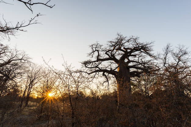 Pianta enorme del baobab nella savana africana con lo sprazzo di sole. Foto Premium