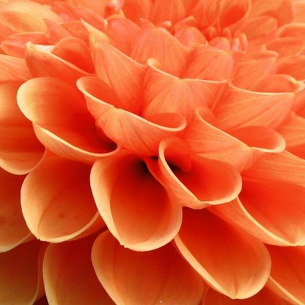 Pianta natura giardino dalia fiore scaricare foto gratis - Dalia pianta ...