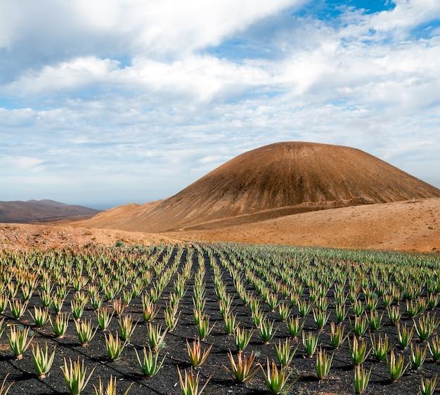 Piantagione di aloe vera a fuerteventura, isole canarie, spagna Foto Premium