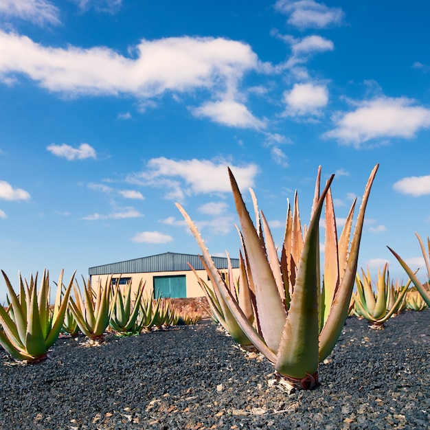 Piantagione di aloe vera a fuerteventura Foto Premium