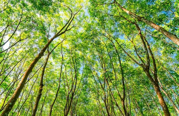 Piantagione di gomma del lattice o albero di gomma para nella tailandia del sud Foto Premium