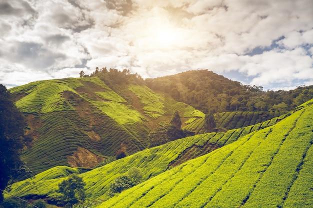 Piantagione di tè in malesia Foto Premium