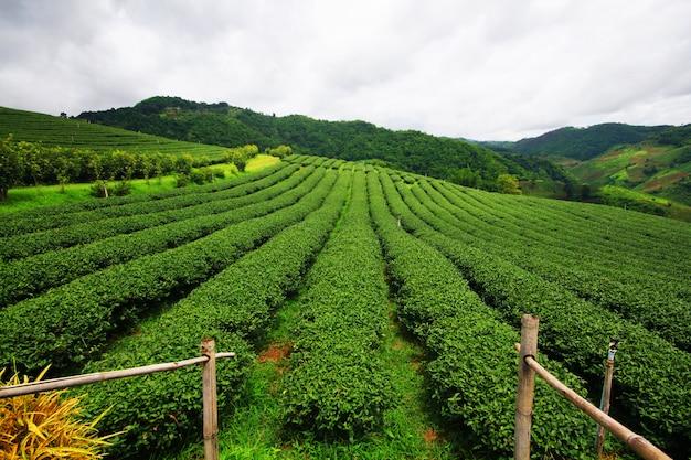 Piantagione di tè nell'alba sulla montagna e foresta nella stagione delle pioggie Foto Premium