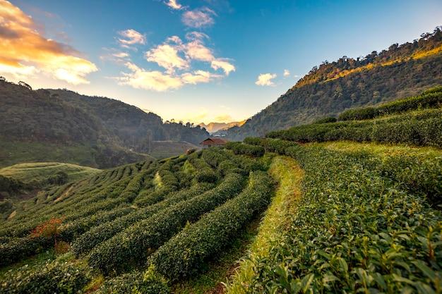 Piantagioni di tè del mattino in montagna Foto Premium
