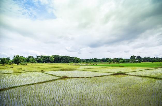 Piantare il riso durante la stagione delle piogge agricoltura asiatica Foto Premium