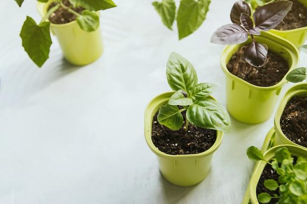 Piantine di basilico in vasi di plastica verde. Foto Premium