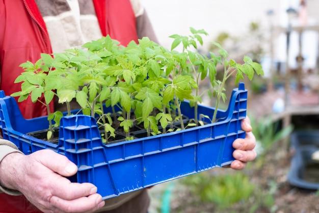 Piantine di pomodoro in mani contadino uomo anziano. come coltivare il cibo a casa. germogli di piante verdi e giardinaggio domestico. casa di campagna Foto Premium