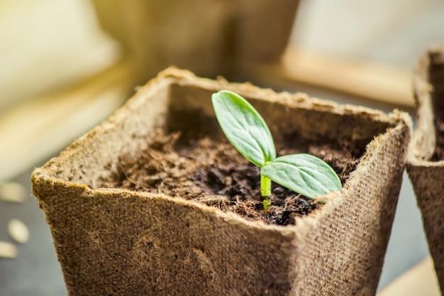 Piantine in tazze. messa a fuoco selettiva piante naturali Foto Premium