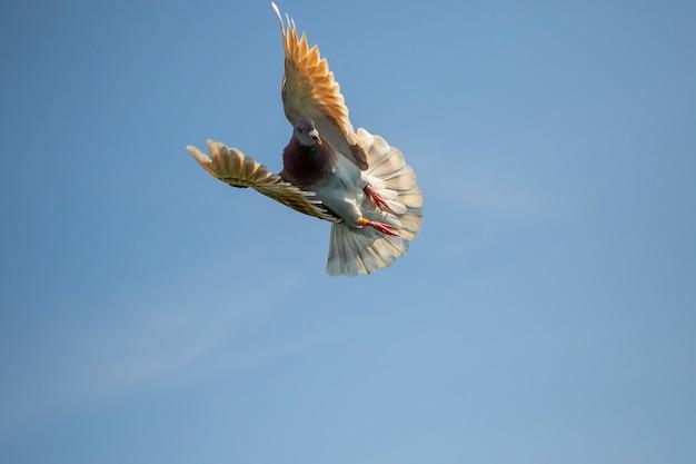 Piccione farinoso della piuma di volo che vola contro il chiaro cielo blu Foto Premium