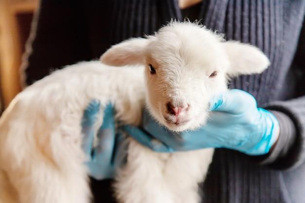 Piccola capra nelle mani di un veterinario da sfamare. nel focus del tutorial. Foto Premium
