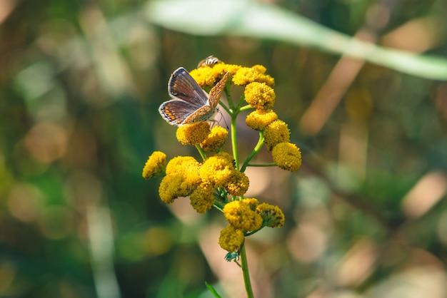 Piccola farfalla arancione sul fiore selvaggio giallo con lo spazio della copia su bokeh. Foto Premium