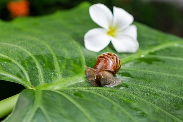 Piccola lumaca achatina che striscia su una foglia verde con goccioline d'acqua con un bellissimo fiore bianco magnolia tra un primo piano giardino verde Foto Premium