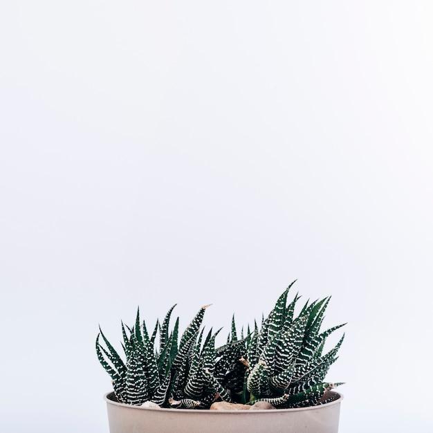 Piccola pianta del cactus della zebra in pianta in vaso isolata su fondo bianco Foto Gratuite