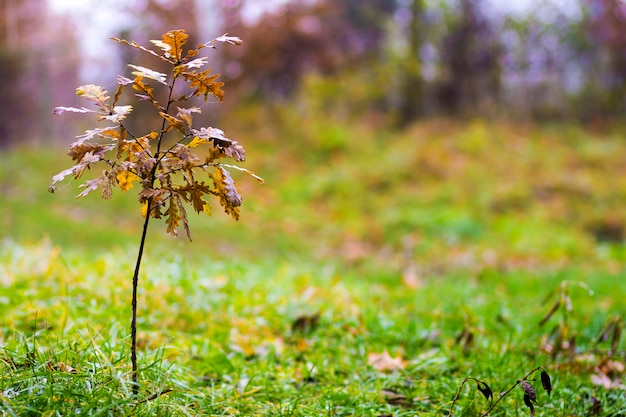 Piccola quercia con foglie gialle in autunno Foto Premium