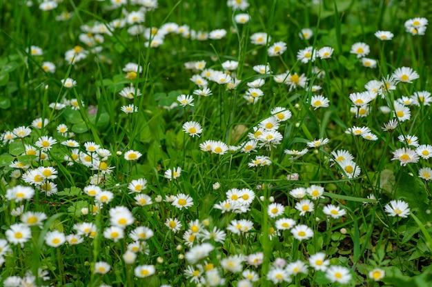 Piccole margherite bianche su sfondo verde. Foto Premium