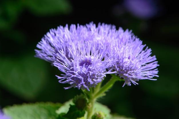 Piccoli fiori lilla in un giardino Foto Premium