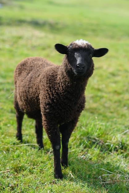Piccolo agnello nero che pasce sul prato sull'isola di madeira. Foto Premium