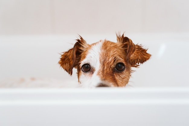 Piccolo cane adorabile sveglio bagnato in vasca, cane pulito. animali domestici al chiuso Foto Premium