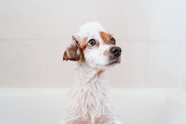 Piccolo cane adorabile sveglio bagnato in vasca, cane pulito con il sapone divertente della schiuma sulla testa. animali domestici al chiuso Foto Premium