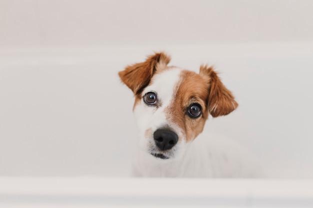 Piccolo cane adorabile sveglio bagnato in vasca. proprietario della giovane donna che ottiene il suo cane pulito a casa Foto Premium