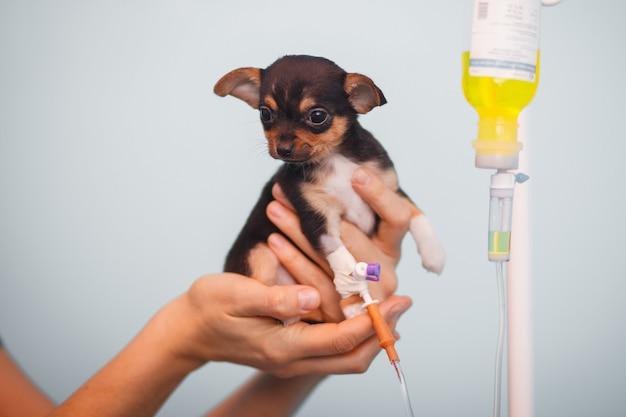 Piccolo chihuahua doggy con un contagocce nelle mani di un veterinario Foto Premium