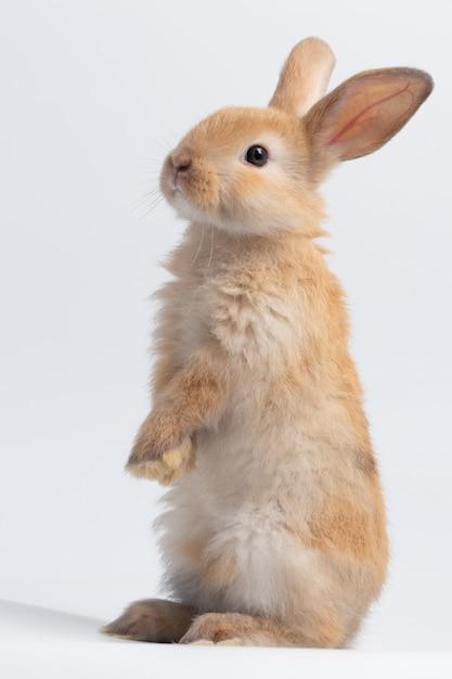 Piccolo coniglio marrone che sta su fondo bianco isolato allo studio. Foto Premium