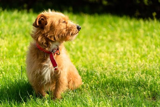 Piccolo cucciolo di cane havanese arancio felice che si siede nell'erba verde Foto Premium