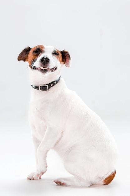 Piccolo jack russell terrier che si siede sul bianco Foto Gratuite