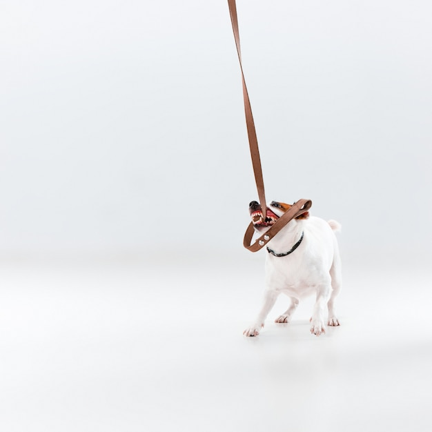 Piccolo jack russell terrier Foto Gratuite