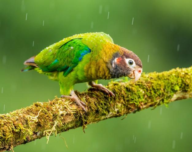 Piccolo pappagallo seduto sul pesce persico pendente in avanti Foto Premium