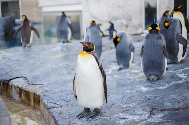 Pinguini reali nello zoo di asahiyama, asahikawa, hokkaido, giappone. Foto Premium