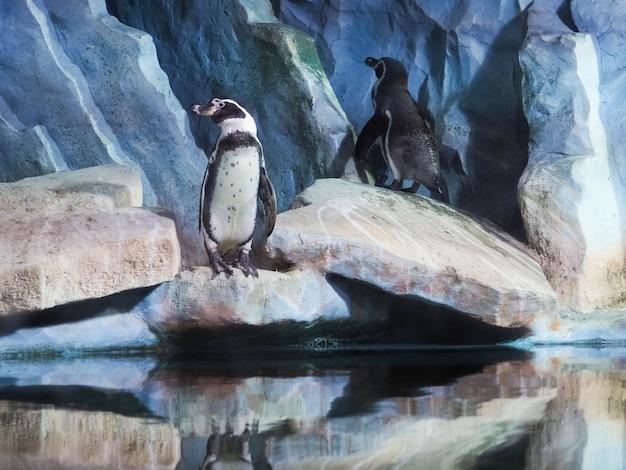 Pinguini su una roccia, pinguini allo zoo, al chiuso, dietro un vetro. Foto Premium