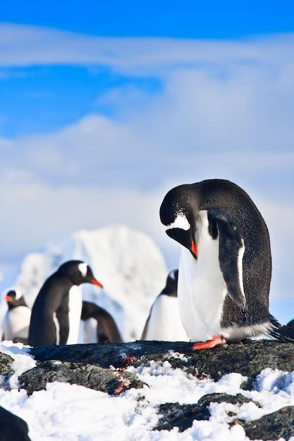 Pinguini su una roccia Foto Premium