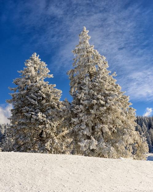 Pini di snowy con cielo blu Foto Premium