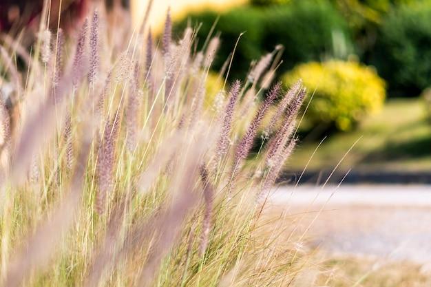 Poaceae in serata in giardino Foto Premium