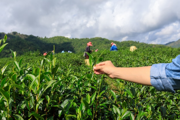 Poco tè verde sulla mano della holding e terreni agricoli agricoli con il gruppo del coltivatore Foto Premium