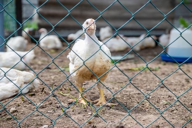 Polli biologici in una fattoria di casa. Foto Premium