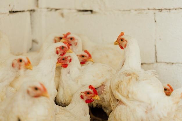 Pollo a sparo medio a penna Foto Gratuite