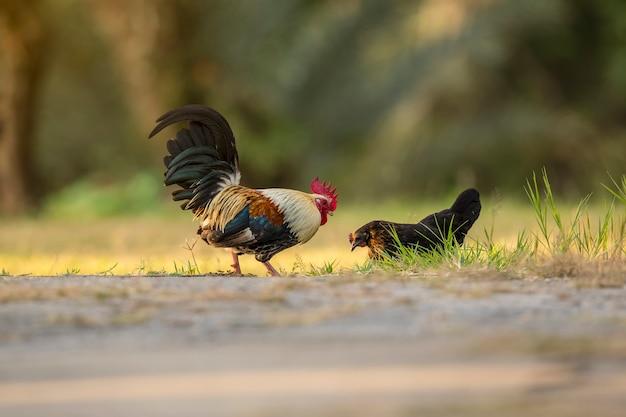 Pollo bantam, pollame in miniatura. animali domestici popolari asiatici in campagna. sveglia dal vivo Foto Premium